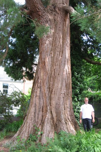 4. Giant Sequoia