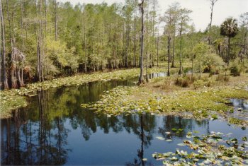 04J. Florida - A cypress swamp, with lilies on each side of a river.