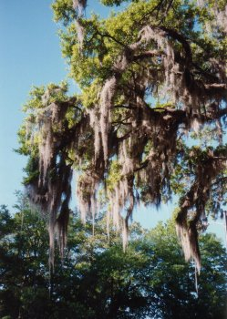 10J. South Carolina - Spanish Moss hangs down from big trees and looks delightful.