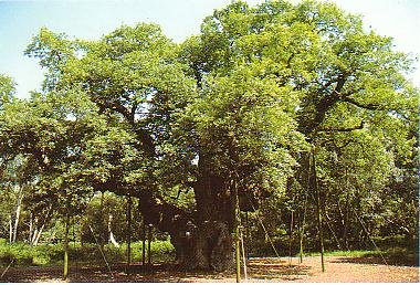The Major Oak - 2001